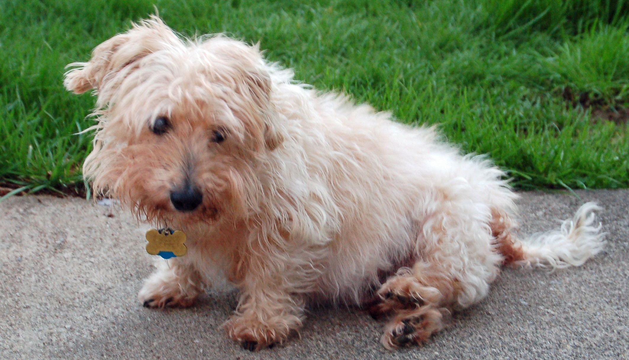 dotson terrier dachshund knows what he wants days of our dogs blog 9736